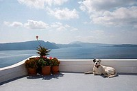Dog on the terrace of a building, Oia, Santorini, Cyclades Islands, Greece