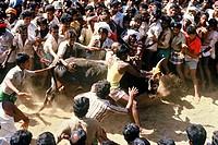 India, Tamil Nadu State, Madurai, Bull taming at Alanganallur, South India, Jallikattu is a bull taming sport played as a part of Pongal celebration, ...