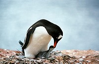 GENTOO PENGUIN pygoscelis papua, ADULT FEEDING CHICK, LIVINGSTONE ISLAND