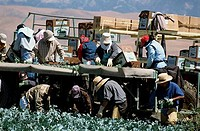 Men working in a broccoli field, California, USA