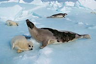 HARP SEAL pagophilus groenlandicus, FEMALE WITH PUP STANDING ON ICE FIELD, MAGDALENA ISLAND IN CANADA