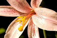 Close_up of a Cascade Lily Lilium washingtonianum flower