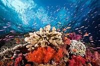 Colorful Coral Reef, Namena Marine Reserve, Fiji