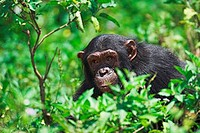 Chimpanzee Pan troglodytes close up close up closeup kept in a sanctuary on Ngamba Island Lake Victoria a special reserve for orphaned chimpanzees con...