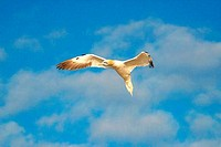 Gannet adult flying against blue sky and white clouds in evening summer light with outstretched wings Morus Bassanus Northern Gannet Saltee Islands Ki...