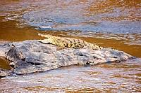Nile Crocodile Crocodylus Niloticus on the Mara river Masai Mara National Nature Reserve Kenya East Africa