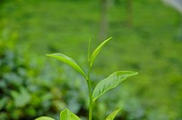 Tea leaves from the Malnichara tea garden in Sylhet Malnichara was the first commercial tea garden of Bangladesh and was established in 1854 Sylhet, B...