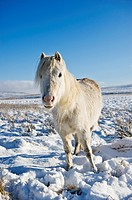 Welsh mountain pony stands on snow covered moorland, Brecon Beacons national park, Wales