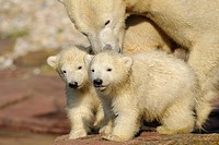 Young polar bears Ursus maritimus with mother