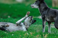 European wolves canis lupus in meadow