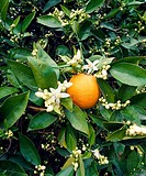 USA, California, Orange County, Orange Tree