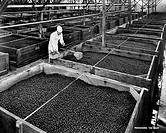 Manual worker examining olives in a factory, Lindsay, California, USA