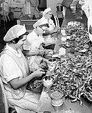 Mature women packing crab meat in containers, Deep Creek, Virginia, USA