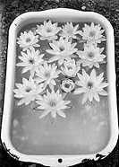 Vessel with water lily flowers in frozen water