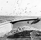 Sea gulls flying over shrimp on boat