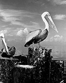 Pelicans perching on wooden breakwater