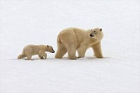 Female Polar bear Ursus maritimus walking with its cub in snow, Holmiabukta, Spitsbergen, Svalbard Islands, Norway