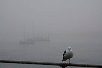 USA, California, Morro Bay, Seagull on railing, moored boats in fog in background
