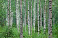 Forest of birch trees Finland Hameenlinna