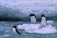 SOUTH SANDWICH ISLANDS, CANDLEMAS ISLAND, MACARONI PENGUINS ON PACK ICE