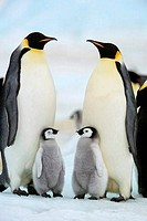 ANTARCTICA, WEDDELL SEA, SNOW HILL ISLAND, EMPEROR PENGUINS Aptenodytes forsteri, COLONY, ADULTS WITH CHICKS