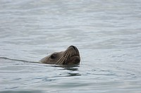 Stellar´s sea lion Eumetopias jubatus Prince William Sound, Alaska