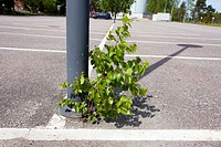 birch sapling growing on parking lot, Finland