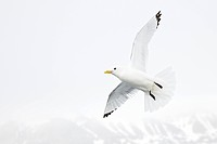 Close up of a kittiwake flying against a white sky.