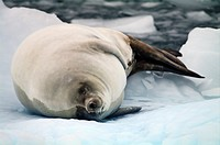 A Crabeater Seal sleeping on an iceberg in an ice flow.