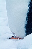 The toes and claws of a Gentoo Penguins foot standing in the snow.