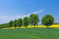 Row of trees in fields, spring.