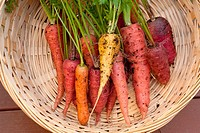 A bunch of multi colored organic carrots in a basket