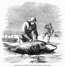 CANADA: SEAL HUNTING, 1867.Skinning and taking out the blubber of the seal. Wood engraving, American, 1861.