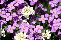 Aubrieta violet family Brassicaceae, brassica, Perennial evergreen ground cover
