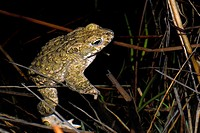 Natterjack toad Bufo calamita in Valdemanco, Madrid, Spain