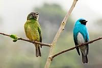 Swallow tanager, Tersina viridis male and female under the rain, Cortada del Guayabo, Venezuela