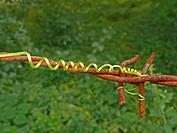 Tendril of a Sponge Gourd plant, India