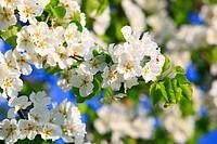 Agrarian, branch, knot, tree, pear tree, pear, pears, leaves, blossom, flourish, flower, splendour, detail, flora, spring, sky, pomes, pomes plants, a...