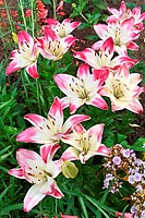 Multicolored pink and white lilies in the garden