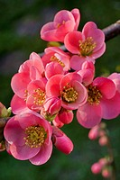 Japanese quince Chaenomeles japonica in flower
