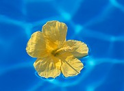 Yellow hibiscus floating on water