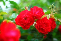 Red roses Mainaufeuer