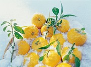 Yuzu fruit in a basket of snow
