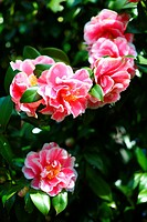 Camellia Flower Head Leaf Bush Beauty In Nature