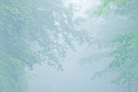 Fog in trees, Norikura Plateau, Matsumoto, Nagano Prefecture, Japan