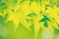 Maple leaves in green, close up