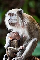A Monkey and Her Baby  Macaca Fascicularis
