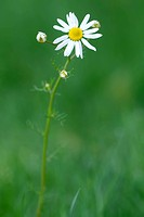 Lawn Daisy lat. bellis perennis with green background