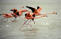 Pink flamingos take off in Celestun on Mexico's Yucatan peninsula