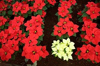 Poinsettias sit on display for sale in a greenhouse in Xochimilco in southern Mexico City. Poinsettias Euphorbia pulcherrima also called Christmas flo...